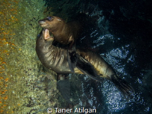 Playing sea lions by Taner Atilgan